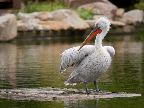 Къдроглав  пеликан (Pelecanus crispus)